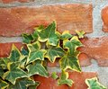 Ivy on brick wall Royalty Free Stock Images