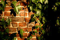 Ivy and bricks Stock Image