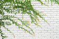 Ivy on bricks wall for background. Royalty Free Stock Photo