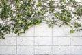 Ivy climber plant on white brick wall texture Stock Photos
