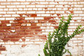 Ivy Climbing Brick Wall Stock Images