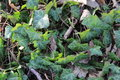 Ivy Coated forest floor Royalty Free Stock Photo