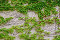 Ivy-covered wall in spring Royalty Free Stock Photo