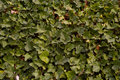 Ivy in detail green as background for spring Stock Photo