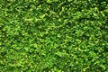 Ivy green leaves covered the wall. background of natural tree fence. Royalty Free Stock Photo