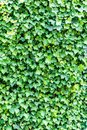 Ivy green leaves texture wall background Royalty Free Stock Photo
