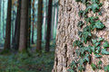 Ivy growing on the bark of a spruce tree Stock Photos