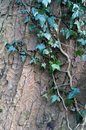 Ivy growing on a beech tree trunk with bark texture Royalty Free Stock Photo