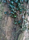 Ivy growing on a beech tree trunk with bark texture in winter Royalty Free Stock Photo