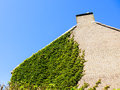Ivy growing on house Royalty Free Stock Photo