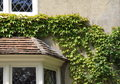 Ivy growing on house wall Royalty Free Stock Photo
