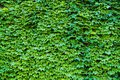Ivy Hedera. Wall covered with foliage. Natural green background. Royalty Free Stock Photo