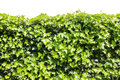 Ivy hedge isolated against white background Royalty Free Stock Images