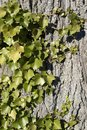 Ivy horizontal natural background with ivyleaves on bark Stock Photography