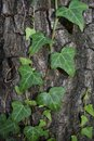 Ivy. Royalty Free Stock Photo