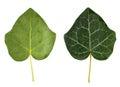 Ivy leaf Royalty Free Stock Photo