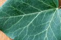 Ivy leaf detail with veins Stock Image