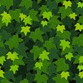 Ivy leaf green foliage wall seamless pattern background Royalty Free Stock Photo