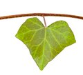 Ivy leaf Royalty Free Stock Photo