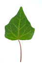 Ivy leaf isolated on white background Stock Images