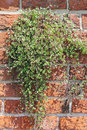 Ivy leaved toadflax on a brick wall cymbalaria muralis or kenilworth is flowering plant native to mediterranean europe and widely Stock Photo