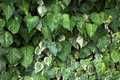Ivy leaves Stock Images