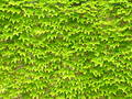 Ivy leaves on wall Royalty Free Stock Photo