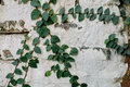 Ivy leaves on the wall Royalty Free Stock Photo