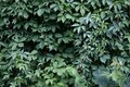 Ivy leaves wall in the park. Nature abstract concept background Royalty Free Stock Photo