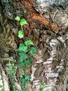 Ivy On Old Tree