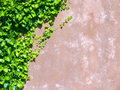 Ivy on old wall Royalty Free Stock Image