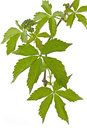 Ivy (Parthenocissus tricuspidata) in spring Royalty Free Stock Photo