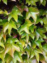 Ivy plant close up pattern background of green Royalty Free Stock Photo