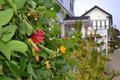 Ivy plant with flowers in mendocino california view of front of quaint white homes Royalty Free Stock Photos