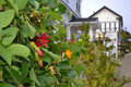 Ivy plant with flowers in mendocino california view of front of quaint white homes Stock Photography