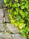 Ivy plant on an irregular stone wall. Background Royalty Free Stock Photo