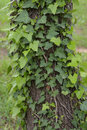 Ivy plant on tree trunk green creeping nature background Royalty Free Stock Images