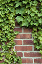 Ivy on a red brick wall Stock Image