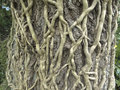 Ivy roots Royalty Free Stock Photo