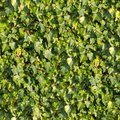 Ivy. Seamless Texture. Royalty Free Stock Photo