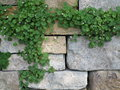 Ivy on stone wall background climgin a with space for text Stock Photo