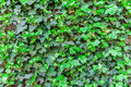 Ivy texture Royalty Free Stock Photo