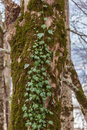 Ivy on tree in spring Stock Photography