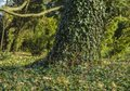 Ivy on tree trunk fully covered with green Stock Image