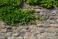 Ivy at a wall Royalty Free Stock Photo
