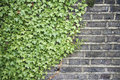 Ivy on a wall background Royalty Free Stock Photo