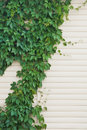 Ivy on the wall Royalty Free Stock Photo