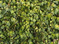 Ivy wall lining in delft netherlands Royalty Free Stock Photo