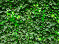 Ivy Wall Royalty Free Stock Photo