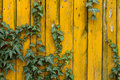 Ivy on yellow wood common wall Royalty Free Stock Images